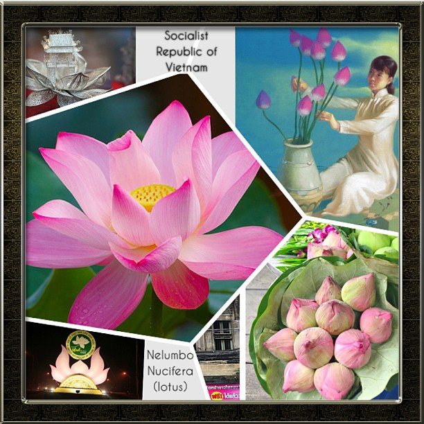 National flower series south east asia 8 vietnam guai shu shu pink nelumbo nucifera or lotus is the national flower socialists republic of vietnam it should be noted that though sri lanka and mightylinksfo
